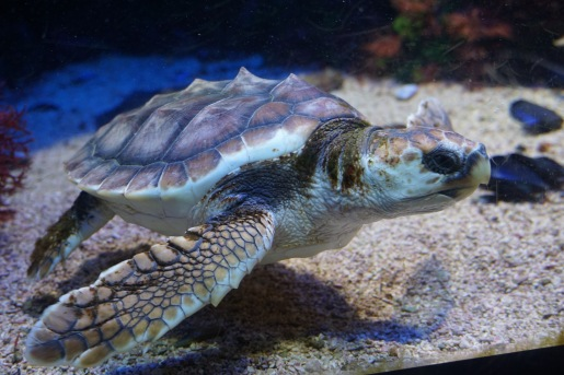 Turtle in the aquarium in Monaco.